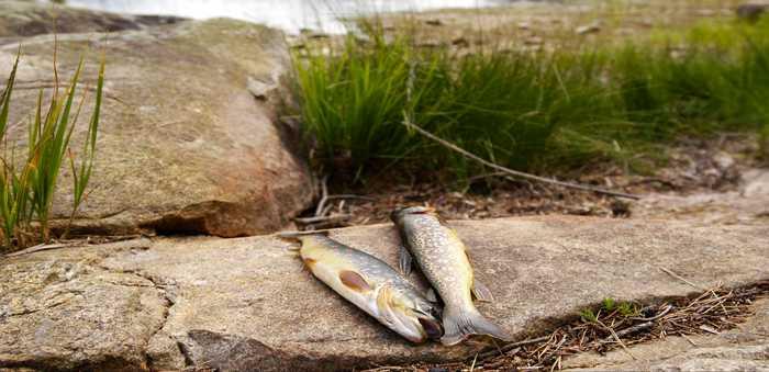 To ørret på en stein ved vannet.