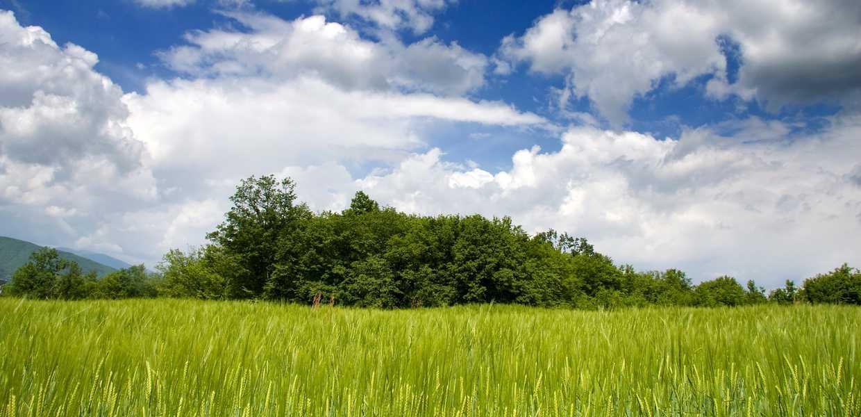 En åker med korn under en blå himmel.