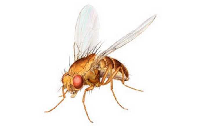 Gulbrun fruktflue
