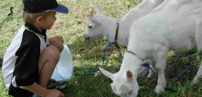 En liten gutt sitter sammen med to hvite geitekillinger