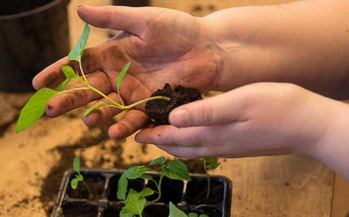 Hender som holder en tomatplante som er forkultivert