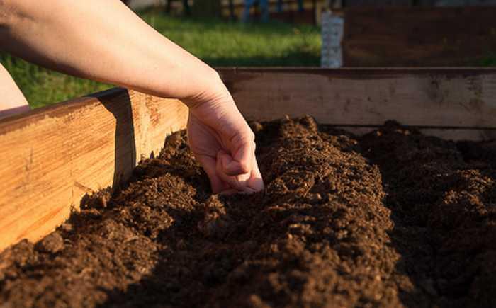Frøet skal plantes dobbelt så dypt som frøet er bredt.