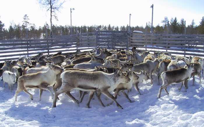 En flokk med reinsdyr i en innhegning