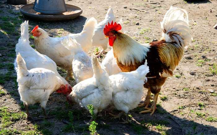 Frittgående høner