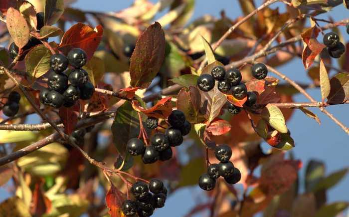 Gren med sorte, modne aroniabær