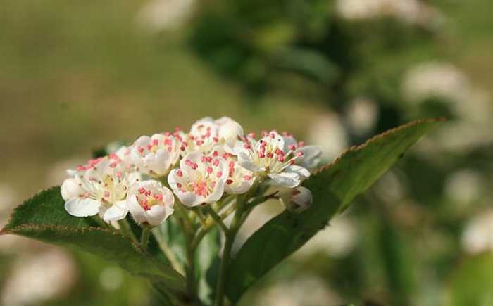 Blomst av svartsurbær, av arten aronia-melanocarpa