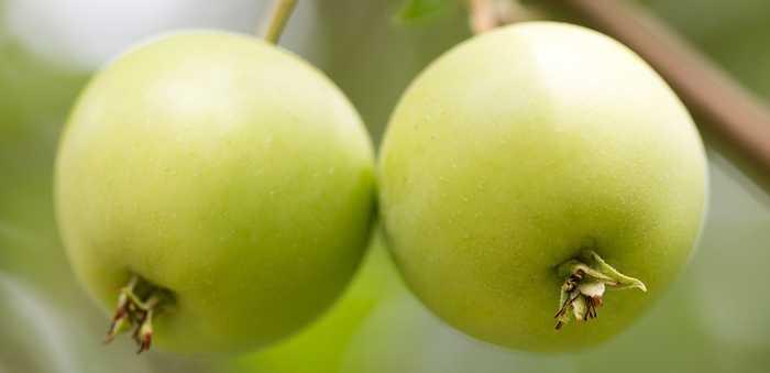 Grønne epler på en grein