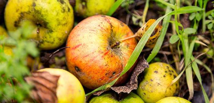 Epler på bakken