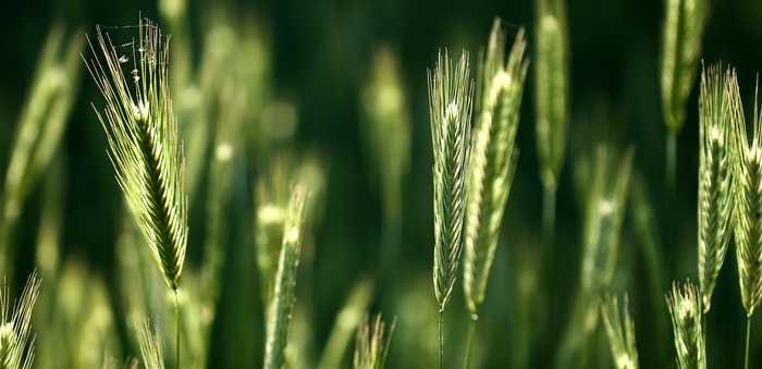grønn hveteåker