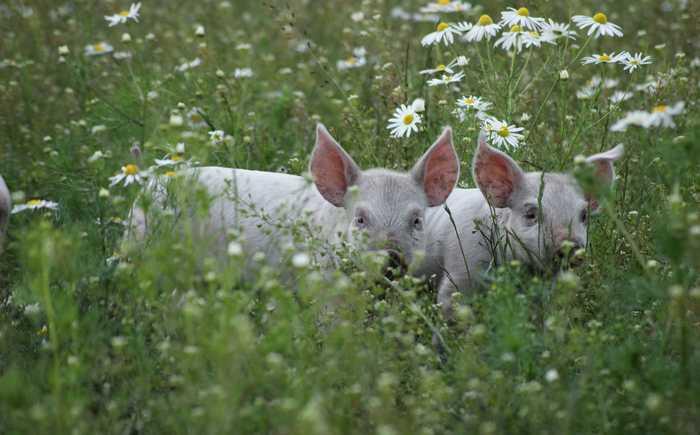 To grisunger i en blomstereng