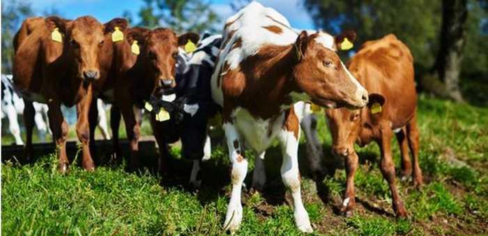kyr og kalver på beite